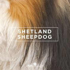 #Dog-Inspired #Design: We think the best, most #beautiful #coats belong to our four-legged family members. #ShetlandSheepdog