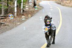 Cane Corso loves Bubbles