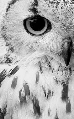 Black and white owl close up.