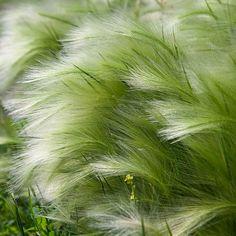 Stipa tenuissima 'Ponytails' - BuxuskoningBuxuskoning stipa/pony-tails-mexican-feather-grass...Proven Winners - Pony Tails - Mexican Feather Grass - Nassella (formerly Stipa) tenuissima white plant