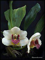 Bifrenaria harrisoniae.  Uma orquídea espécies (cor)