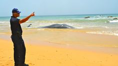 """El cachalote (""""sperm whale"""") medía unos 35 pies de largo al momento de fallecer. Foto José E. Maldonado / www.miprv.com"""