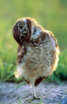 """""""What is THAT???"""" says the adorable owl."""