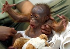 """Orphaned, Rescued Orangutan Baby - Please DON'T support the Palm Oil Industry. Their future is at stake. If you see some form of PALM ingredient on the labels of your food, toiletries/cosmetics.. PLEASE seek an ALTERNATIVE. We all need to familiarize ourselves with the list of names that companies use to mask the words """"palm oil"""".. or we will LOSE these beautiful creatures, forever."""