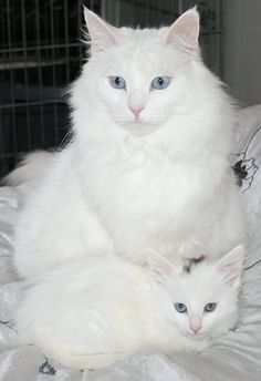 Norwegian Forest Cat Colours| Norwegian Forest Cat Society UK