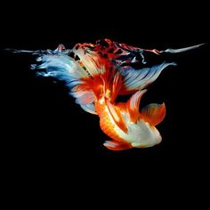 koi tattoo inspiration - Goldfish Wall Decal by Mark Laita This decal is HUGE, and takes up the whole wall. Beautiful Creatures, Animals Beautiful, Cute Animals, Fantail Goldfish, Goldfish Bowl, Fauna Marina, Beautiful Fish, Beautiful Wall, Tier Fotos