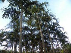 Carpentaria acuminata 1000.jpg