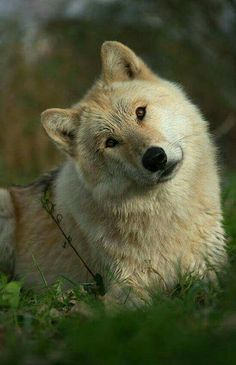 Observe the look of this wolf. It'is not much different from most dogs, which makes sense. They are both canines. Wolf Love, Beautiful Creatures, Animals Beautiful, Cute Animals, Wild Animals, Baby Animals, Wolf Spirit, My Spirit Animal, Wolf Pictures