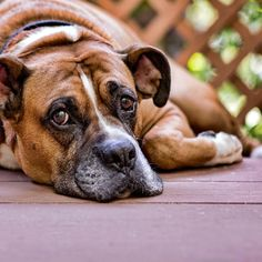 Homemade Fly Repellent for Dogs
