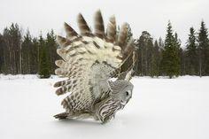 Great Grey Owl, by Jari Peltomäki
