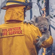 Koala is carried off to safety from the fire Australian Bush, Australian Animals, Wombat, Save Animals, Animals And Pets, Real Hero, Climate Change, Cats, Koala Bears