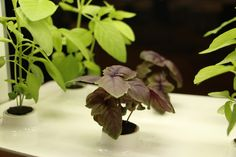 Purple Basil #purplebasil #indoorgarden #basile #growyouown #gardening #healthy