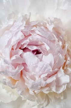 Peony Photography French Peony Fine Art Travel Photograph Wall Decor Pfingstrose Fotografie französische Pfingstrose Hampel The post Peony Photography French Peony Fine Art Travel Photograph Wall Decor appeared first on Diy Flowers. Rose Fotografie, Pink Flowers, Beautiful Flowers, Flowers Bunch, Pink Petals, Peony Flower, Exotic Flowers, Beautiful Life, Deco Floral