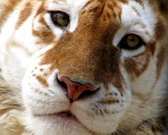Internation Tigers Day - July 29 - Save the Tigers!1 de mes preferes!!!...no;22