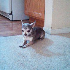 Contestant: Ruby #puppy #BilJac