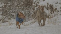 Vizsla and a Weimaraner running in the snow. Maryland film photographer.