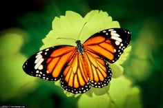 Types of Butterflies – There are six primary types of butterflies found in North America and then numerous subfamilies found under each primary type. Butterflies are one of the most adored insects for their enchanted beauty and representation of good luck and positive change. They can be found in every state, rural or residential areas, forests or fields.