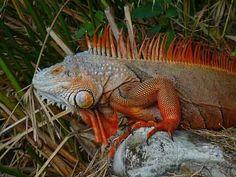 Red Iguana | Red colored Green Iguana