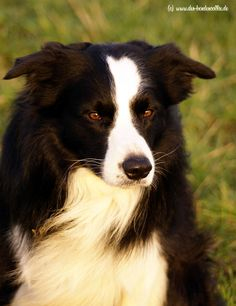 Hello out there - Border Collie
