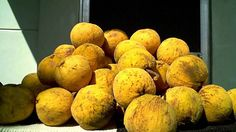 santol (Sandoricum koetjape) Thick or thin rinds, creamy juiced up pulp and inedible sleek brown seeds. Santol is found in several tropical areas and is particularly indispensable in Thailand's cuisine. Seeds, Asian, Fruit, Philippines, Food, Thailand, Tropical, Google Search, Eat