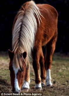 The famous New Forest ponies are now officially a rare breed. The ponies, which have roame...