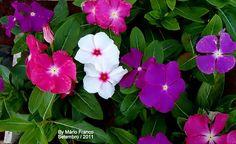 Pervinca - Catharanthus roseus
