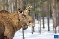 Hirvi, Ähtärin Eläinpuisto © Jari Ratilainen, 2013 Finland, Scenery, Animals, Art, Animales, Art Background, Paisajes, Landscape, Animaux