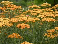 ACHILLEA millefolium 'Terracotta - Røllike, farve: orange, lysforhold: sol, højde: 60 cm, blomstring: juli - august, velegnet til snit.