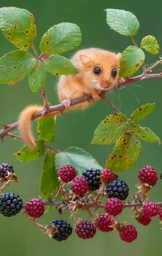 Curious Feild Mouse