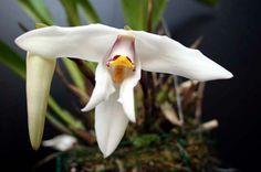 Maxillaria specie