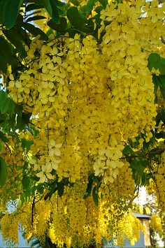 Cassia fistula, known as the golden shower tree and by other names, is a flowering plant in the family Fabaceae. Order: Fabales Family: Fabaceae Genus: Cassia Species: C. Exotic Plants, Exotic Flowers, Tropical Plants, Amazing Flowers, Yellow Flowers, Trees And Shrubs, Flowering Trees, Trees To Plant, Garden Trees