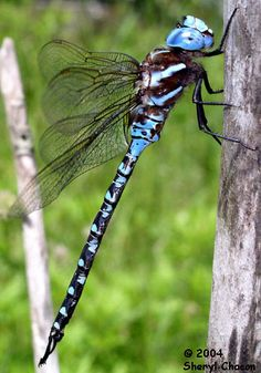 One of the benefits of having dragonflies live nearby is that they eat many times their weight in mosquitoes every day. Dragonflies also eat many different kinds of flies. Using a basket-like arrangement of their legs, adult dragonflies can actually catch and eat other bugs while they are flying.