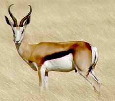 The National Animal - Springbok African Animals, African Safari, African Art, Beautiful Creatures, Animals Beautiful, African Antelope, National Animal, Wild Creatures, Out Of Africa