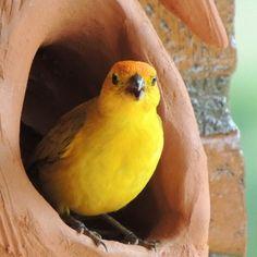 Confira lindas fotos de canário-da-terra e compartilhe com seus amigos! Canario Da Terra, Canary Birds, Creepy Art, Colorful Birds, Beautiful Birds, Bird Houses, Parrot, Wildlife, Puppies