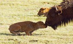 Ten Baby Bison Born on the Montana Prairie