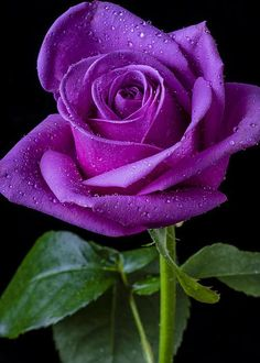 Purple Rose - by Garry Gay