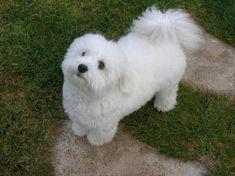 coton+de+tulear+puppy+cut | Filou's adorable 1 year puppy cut.