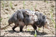 Opposums - what a family to haul around!