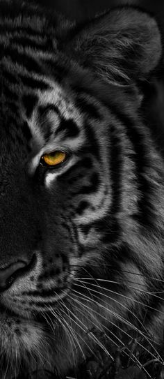 Photograph L'oeil du tigre by Briquet jean francois on Big Cats, Cool Cats, Cats And Kittens, Beautiful Cats, Animals Beautiful, Samourai Tattoo, Animals And Pets, Cute Animals, Gato Grande