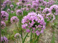 Gärtnerei Naturwuchs - Allium angulosum -- Kantiger Lauch