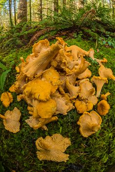 Yellow Chanterelles by Lee Rentz Mouth is watering just looking at the picture. The dishes i could fix and dry the rest for later. Can you say visions of Chanterelles are dancing in my head this Christmas!