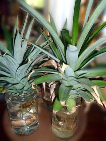Maui Jungalow: How to Grow a Pineapple From a Pineapple Top