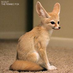 FENNEC FOX SITTING - Google Search