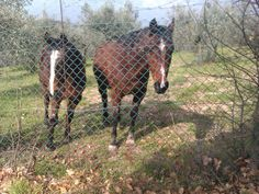 My neighbour´s horses Foxie and Frenzie