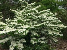 Viburnum Shasta - a great shrub - love the blossoms that march along the branches.  Lovely in the fall too.