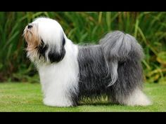 Tibetan Terrier Dog Show 2016 WKC cKennel Club