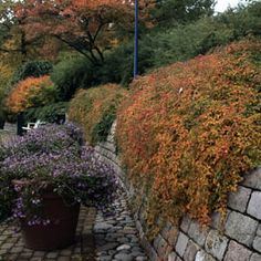 Fall colour - Stephanandra incisa 'Crispa' - white flowers in spring.  Ideal as groundcover or for cascading over wall.