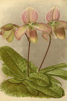 Orchidea, illustrazione antica
