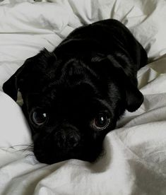 Figure out additional information on funny pugs. Check out our web site. Figure out additional information on funny pugs. Check out our web site. Black Pug Puppies, Cute Dogs And Puppies, Bulldog Puppies, Doggies, Animals And Pets, Funny Animals, Baby Pugs, Tier Fotos, Cute Little Animals
