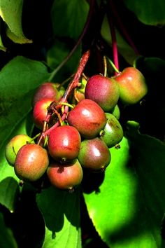 Grape Kiwi Geneva, Actinidia arguta - a mini kiwi with red cheeks